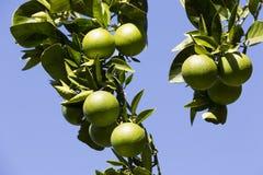Det orange trädet med frukter mognar Arkivfoton