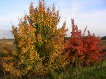 Det orange trädet och den röda busken fångar den sista strålen av solen för höstnatt Royaltyfria Bilder