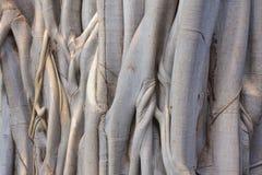 Det pipal trädet Royaltyfri Fotografi