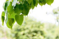 Det Pipal trädet lämnar bakgrund Royaltyfri Fotografi