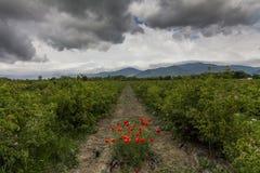 Det pittoreska landskapet med rosfältet under en molnig himmel Royaltyfri Fotografi