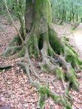 Det pittoreska trädet rotar Arkivbild