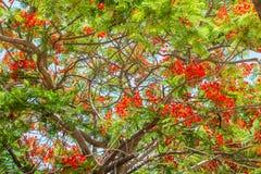 Det Poinciana trädet ställde in bland en blå himmel royaltyfri fotografi
