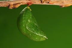 Det processaa av 8/8) fjäril för pupation ( Royaltyfri Foto