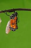 Det processaa av eclosion (11/13) fjärilsförsök att borra ut ur kokong beskjuter, från pupa vänder in i fjäril Royaltyfri Foto