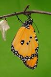 Det processaa av eclosion (13/13) fjärilsförsök att borra ut ur kokong beskjuter, från pupa vänder in i fjäril Arkivbilder