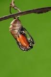 Det processaa av eclosion (2/13) fjärilsförsök att borra ut ur kokong beskjuter, från pupa vänder in i fjäril Arkivfoton