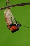 Det processaa av eclosion (6/13) fjärilsförsök att borra ut ur kokong beskjuter, från pupa vänder in i fjäril Royaltyfri Fotografi