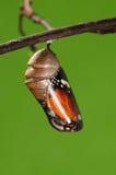 Det processaa av eclosionen (1/13) fjärilsförsök att borra ut ur kokong beskjuter, från pupa vänder in i fjäril Arkivbilder