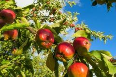 Det röda äpplet bär frukt på trädet Fotografering för Bildbyråer