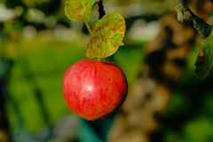 Det röda äpplet växer på en filial Royaltyfria Foton