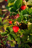 Det röda bäret, en jordgubbe mognade på en buske i fältet Jordbruk som planterar bär royaltyfri bild