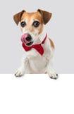 Det röda bandet kyler hunden Arkivfoto