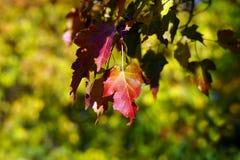 Det röda bladet Arkivbilder