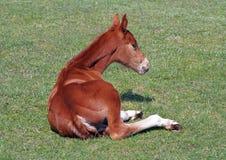 Det röda fölet på gräsplan betar Royaltyfri Bild