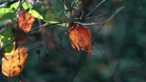 Det röda höstbladet på frunchen svänger i vinden