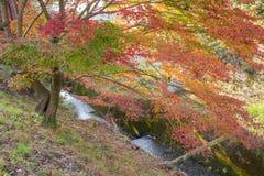 Det röda höstbladet tände upp vid solsken i Obara, Nagoya, Japan Arkivbilder