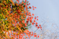 Det röda höstbladet tände upp vid solsken i Obara, Nagoya, Japan Royaltyfri Bild