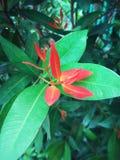 Det röda naturligt Arkivfoto
