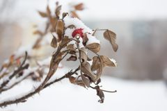 Det röda nyponbäret som täckas med insnöad vinterdet fria, stänger sig upp den lösa rosen, kopieringsutrymme arkivfoto