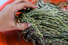 Det rörande örat av risfält behandla som ett barn riceberry arkivfoton