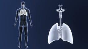 Det respiratoriska systemet och hjärta zoomar med artärer och åder stock illustrationer