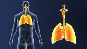 Det respiratoriska systemet och hjärta zoomar med det cirkulations- systemet stock illustrationer