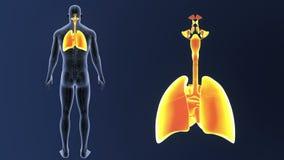 Det respiratoriska systemet och hjärta zoomar med det cirkulations- systemet stock video
