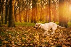 Det roliga barnet gula labrador i härlig höst parkerar på solig dag Arkivbilder