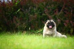 Det roliga husdjuret förföljer royaltyfria bilder