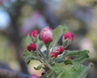 Det rosa äpplet slår ut i gröna sidor arkivbild