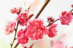 Det rosa körsbäret blommar att blomma Royaltyfri Foto