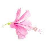 Det rosa mjuka hibiskusblommahuvudet isoleras på vit bakgrund, Arkivfoton