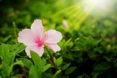 Det rosa släktet hibiskus, shoefloweren eller porslin steg i trädgårds- affter som regnar bakgrund Arkivbild