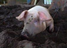 Det rosa svinet med den smutsiga nosen gräver jordningen Vila spädgrisen på lantgårdträdgård Royaltyfri Foto