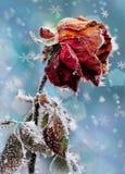 Det Rose With Frost Winter kortet background card congratulation invitation royaltyfri bild