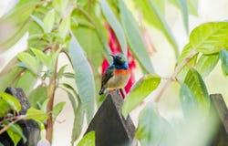 Det sällsynt, hotat, & endemisken manliga Usambara Dubblett-försåg med krage Sunbird royaltyfria bilder