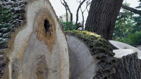 Det sågade trädet i det gammalt parkerar arkivfilmer