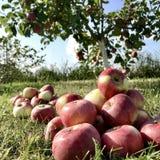 Det söta fruktäpplet som växer på träd med sidor, gör grön royaltyfri fotografi
