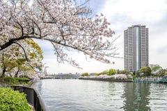 Det Sakura trädet (körsbärsröd blomning) i Sakuranomiya parkerar En berömd parkera Royaltyfri Fotografi