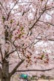 Det Sakura trädet (körsbärsröd blomning) i Sakuranomiya parkerar, Osaka, Japan, Arkivbild