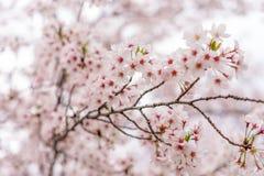 Det Sakura trädet (körsbärsröd blomning) i Sakuranomiya parkerar, Osaka, Japan, Arkivfoton