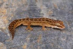 Det Satara bladet toed geckon, den Hemidactylus sataraensisen Chalkewadi Satara område, Maharashtra Arkivfoton