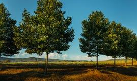 Det sceniska lantliga landskapet, träd står i rad längs vägen mot bakgrund av ett fält royaltyfria bilder