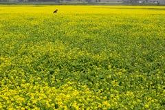 Det senapsgula blommafältet blommar mycket Royaltyfri Fotografi