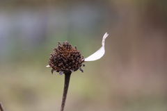 Det sista kronbladet på en blomma Arkivfoto