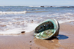 Det skinande pärlemoAbaloneskalet sköljas upp på stranden på stranden Fotografering för Bildbyråer