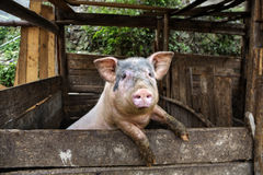 Det smutsiga svinet står på bakre ben som lutar på ett staket Arkivbild