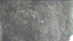 Det snöar på bakgrunden av ett grönt träd med kottar stock video
