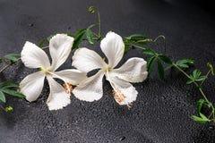 Det Spa begreppet av den blommande delikata vita hibiskusen, gräsplan fattar med Arkivfoto